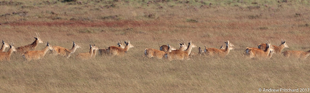 The group of red deer suddenly take off running through the long grass.