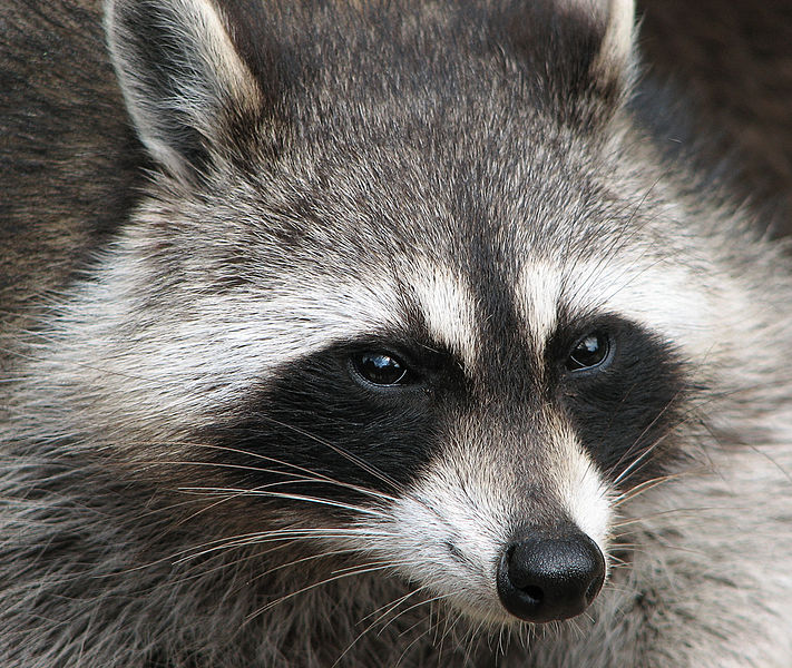 Mammals Animals: Raccoon (Procyon lotor)