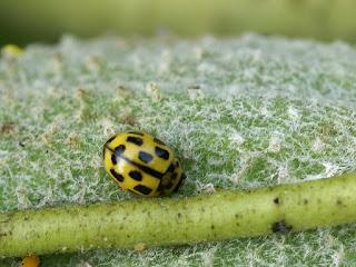 Coccinelle à damier - Coccinelle à 14 points - Propylea quatuordecimpunctata