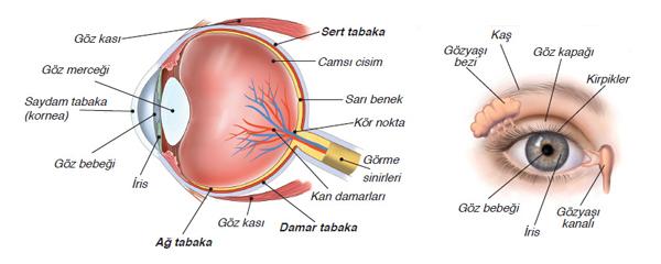 Gözün Katmanları (Kısımları) Nelerdir?