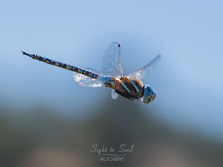 Male Blue-eyed Darner Dragonfly (Rhionaeschna multicolor)