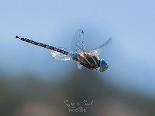 Male Blue-eyed Darner Dragonfly (Rhionaeschna multicolor)