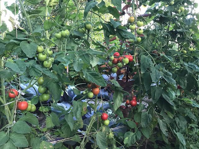 Tomaten werden reif (c) by Joachim Wenk
