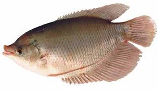 cara budidaya ikan gurame di kolam kecil,cara budidaya ikan gurame dari telur,pembesaran  ikan gurame di kolam tembok,pembesaran  ikan gurame di akuarium,cara budidaya ikan gurame di kolam terpal,
