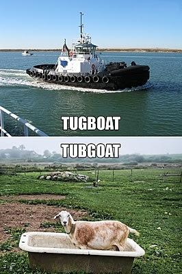 goat on tub