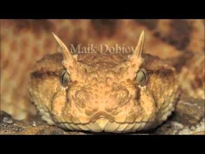 ڤیدۆ: مارێك قۆچی ههیه  Video: Snake with horns  بالفيديو: الثعبان ذات القرون