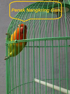 cara mengatasi lovebird ngeruji