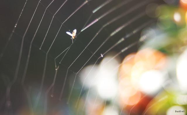 Un moucheron dans une toile d'araignée