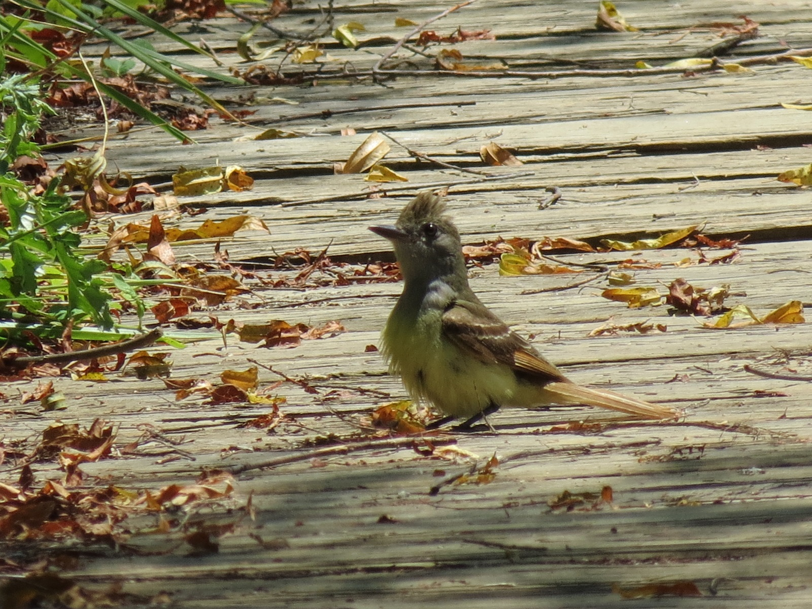 This Image Above And The One Below Were Taken At A Local Park Young Great Crested Flycatcher Was Begging For Food On Boardwalk