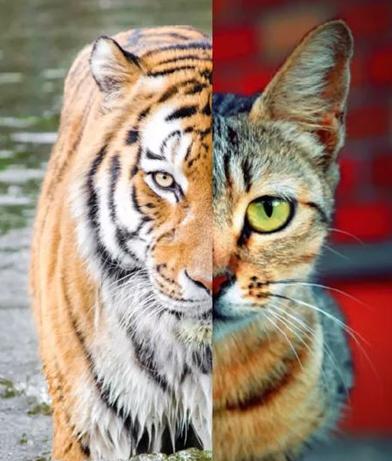 Foto Kucing dan Harimau Berubah