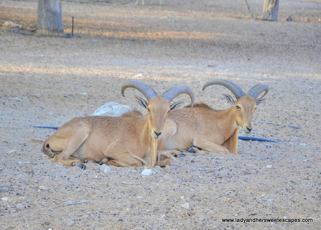 barbary sheep in Sir Bani Yas