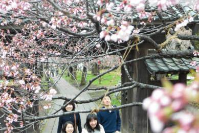 高遠城址公園タカトオコヒガンザクラ天下第一の桜