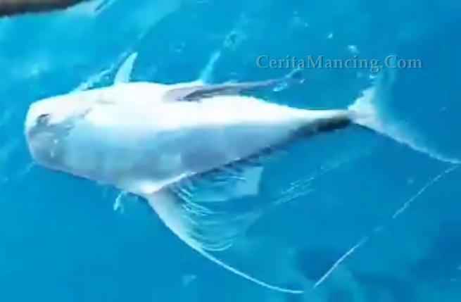 Strike Ikan Cermin Besar Anglernya Kena Bully LOL
