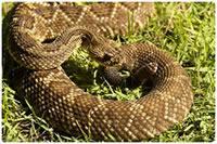 Cascavel - cobras peçonhentas das Américas