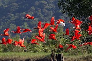 Na época do descobrimento do Brasil, as penas do guará-vermelho eram muito valiosas entre os índios. As tribos tupinambás e tupiniquins disputavam os ninhos da ave para a confecção de adereços.