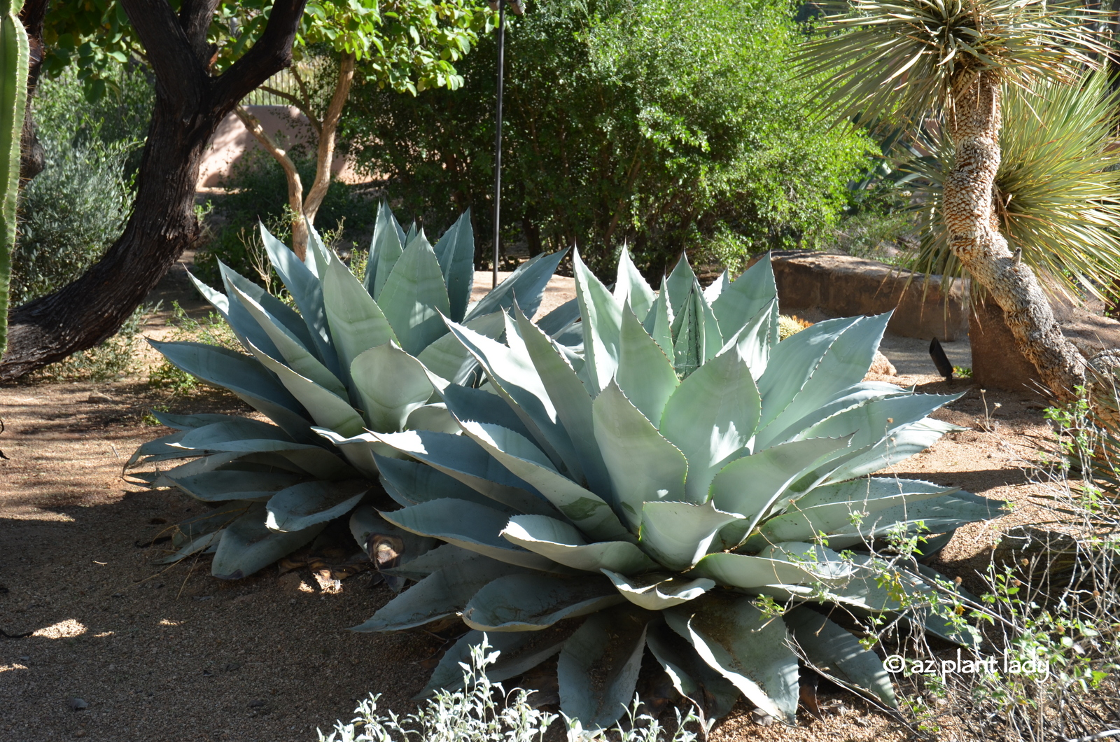 Drought tolerant and beautiful whale 39 s tongue agave for Hardy plants for the garden