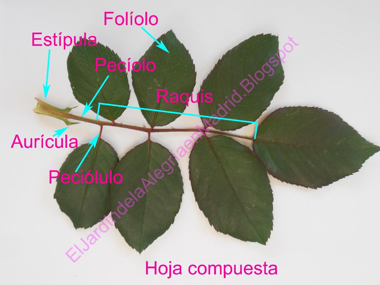 El Jardín De La Alegría Morfología Del Rosal
