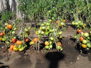 Безрассадные помидоры в конце августа