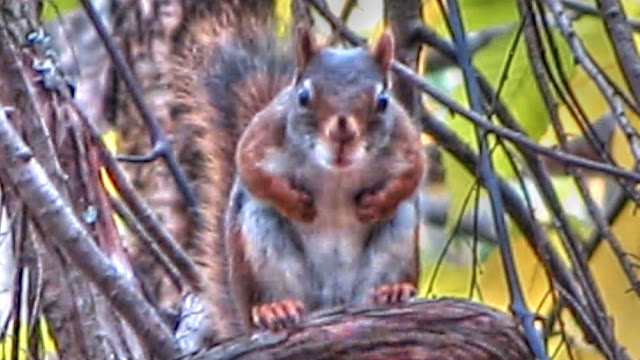 Angry Barking Squirrel