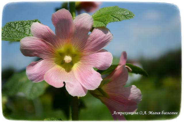 cvetok-mal'vy-rozovoj
