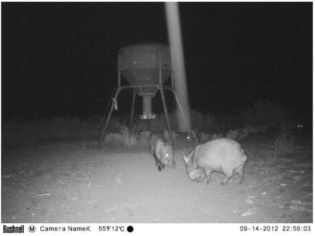 UFO Probe Seen Flying Over Wild Pigs In Texas On Animal Cam Screen%2BShot%2B2018-10-23%2Bat%2B4.49.59%2BPM