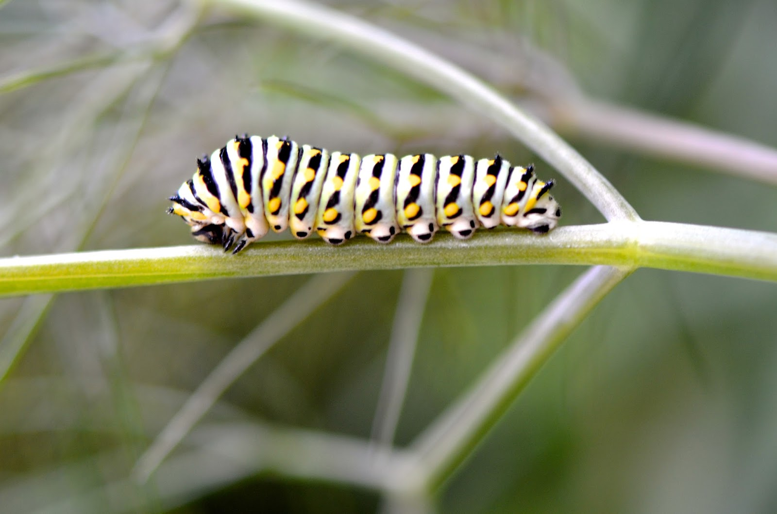 Growing Caterpillar