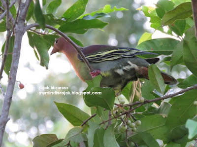 Cinnamon-headed Green Pigeon (Treron fulvicollis)