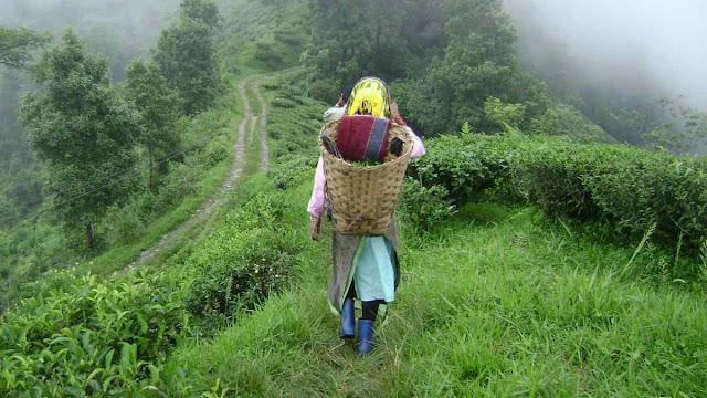 Women Tea Worker in Darjeeling