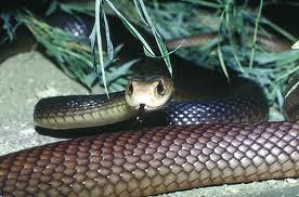 Serpiente Taipán