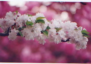 Gambar Bunga Sakura Paling cantik di Jepang 13000