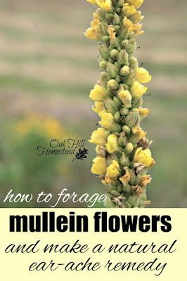 Mullein flower oil is a natural remedy for painful earaches. Here's how to make your own mullein-infused oil.
