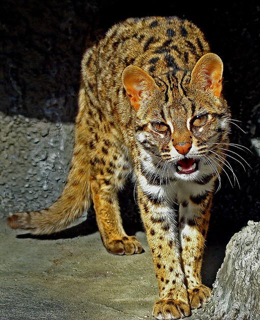 Gato-Leopardo (Prionailurus bengalensis)