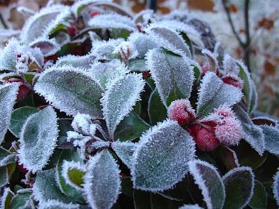 Baies de gaulthérie en hiver - Pixabay