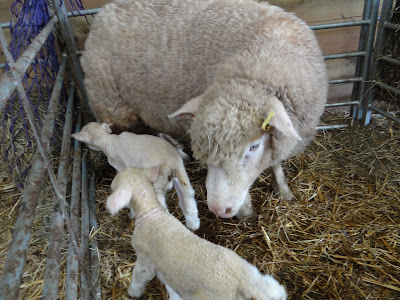 spring lambs farm life Devon country glamping