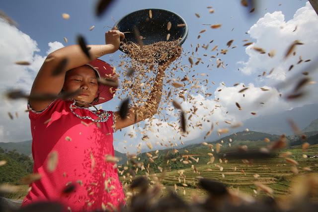 Donna che trebbia il riso. Fotografia di Luca Bracali