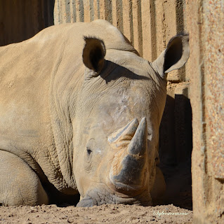 Southern White Rhino Facts & Photos