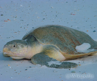 Penyu Kemp's ridley (Kemp's ridley sea turtle)
