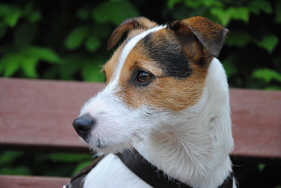 Small Hard Lump Behind Ear On Dog
