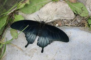 Papilio lowii - Papilio lowi
