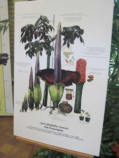 Titan Arum growth chart.