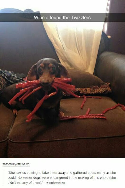Winnie found all the twizzlers, funny dogs, dogshaming, dachshunds, dachsund shaming, dachshund, doxie, dog stole candy, hilarious dogs, doxie problems