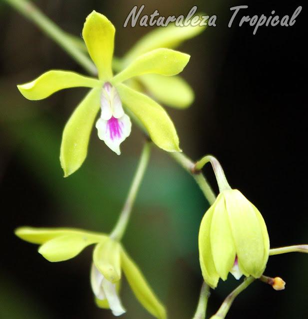 Flores de la orquídea Encyclia fucata