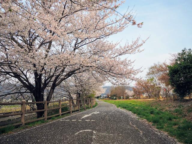 あづみ野やまびこ自転車道 拾ヶ堰 桜 豊科南部総合公園