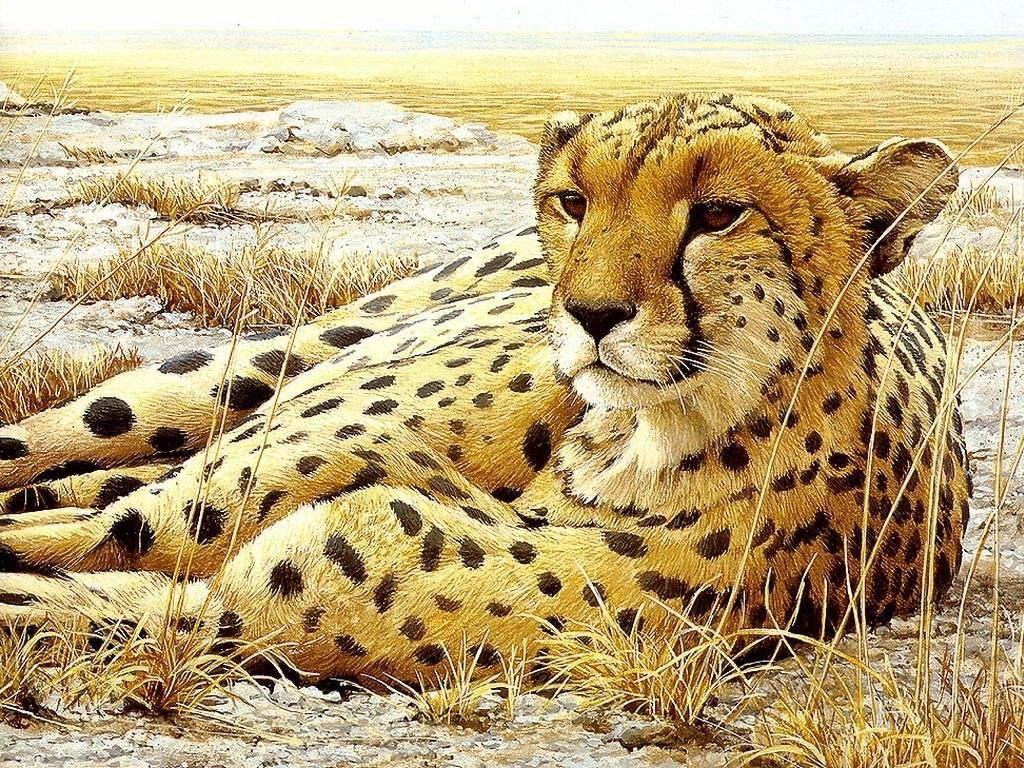 All About Animal Wildlife: Cheetah Cool HD Wallpapers 2012