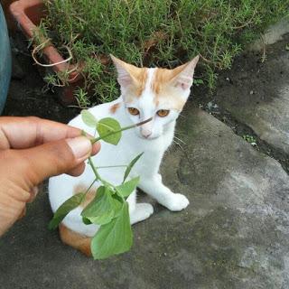 tanaman yang disukai kucing