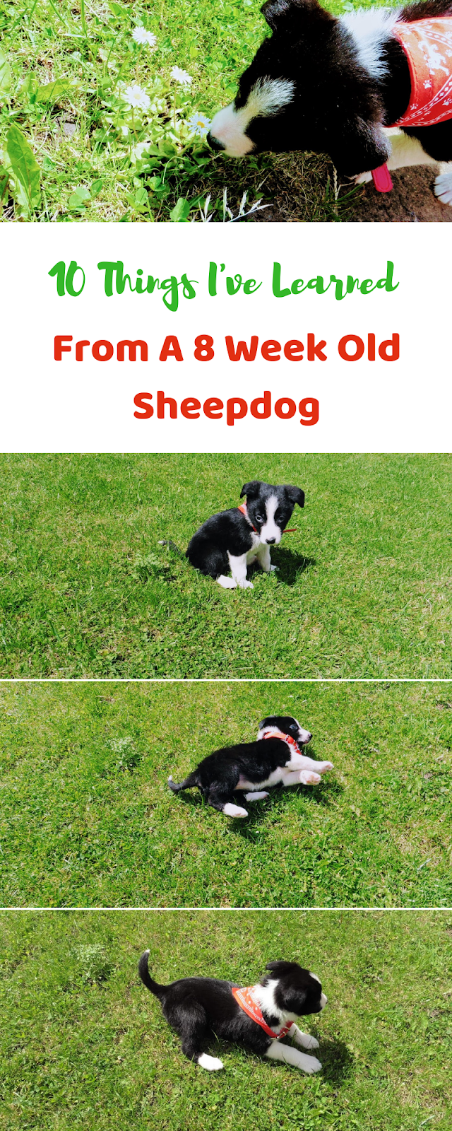 10 Things I've Learned From A 8 Week Old Sheepdog