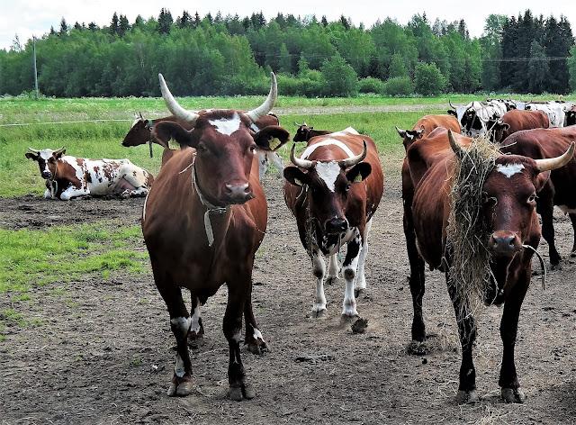 lehmät, sarvet, laidun, kesä, Ylitalon lehmät, lehmä