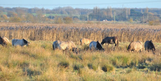 Konik ponies at Wicken Fen NNR