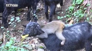 Baby Monkey Breakss Into A Goat Farm And Picks Its New Mother 3