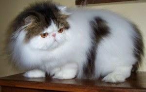 Os persas são gatos muito procurados por pessoas que vivem em espaços  pequenos, como apartamentos, pois seus miados são baixos e pouco comuns, ... 98e2064c2a